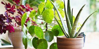 Корисні кімнатні рослини