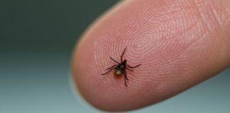 Кліщі переносять небезпечні хвороби
