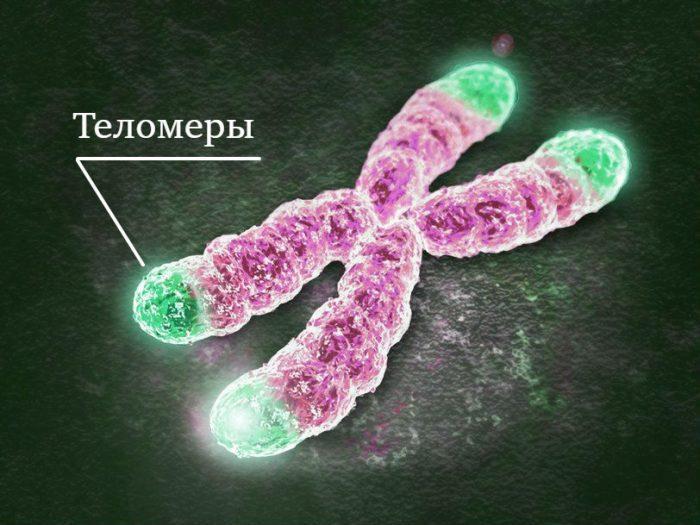 Теломеры в хромосомах