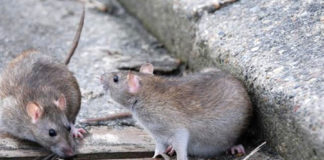 Крысы на улицах города