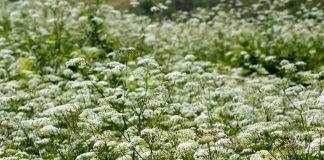 Опасные ядовитые растения Украины