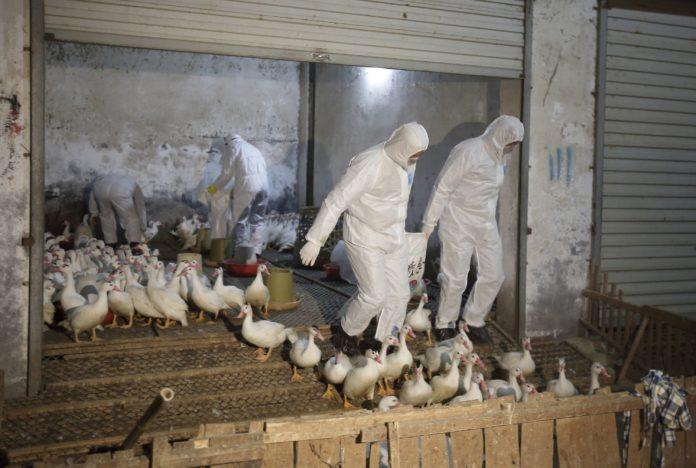 Птичий грипп на Филиппинах