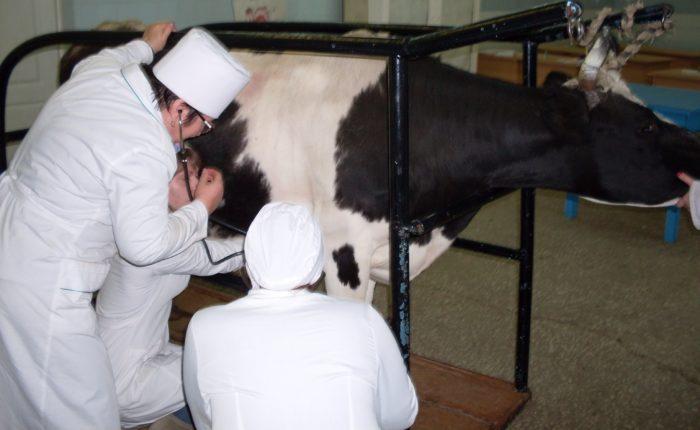 Вспышка заболевания связан с массовым забоем скота